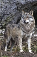 Loup (pabvision.com)
